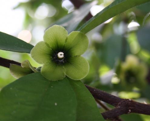 Deherainia smaragdina Smaragdblume