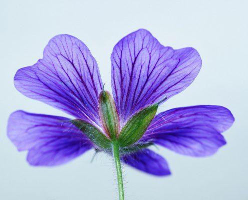 Storchschnabel blaue Blüte