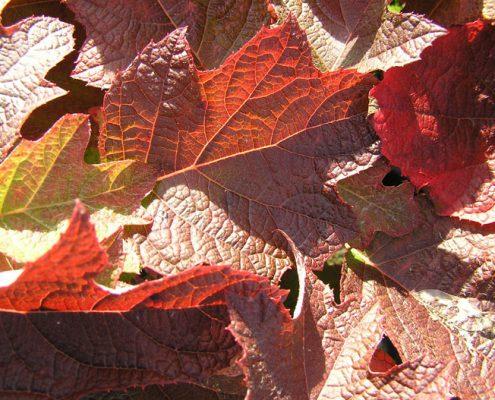 Hydrangea quercifolia, Foto Baumschulen Eggert
