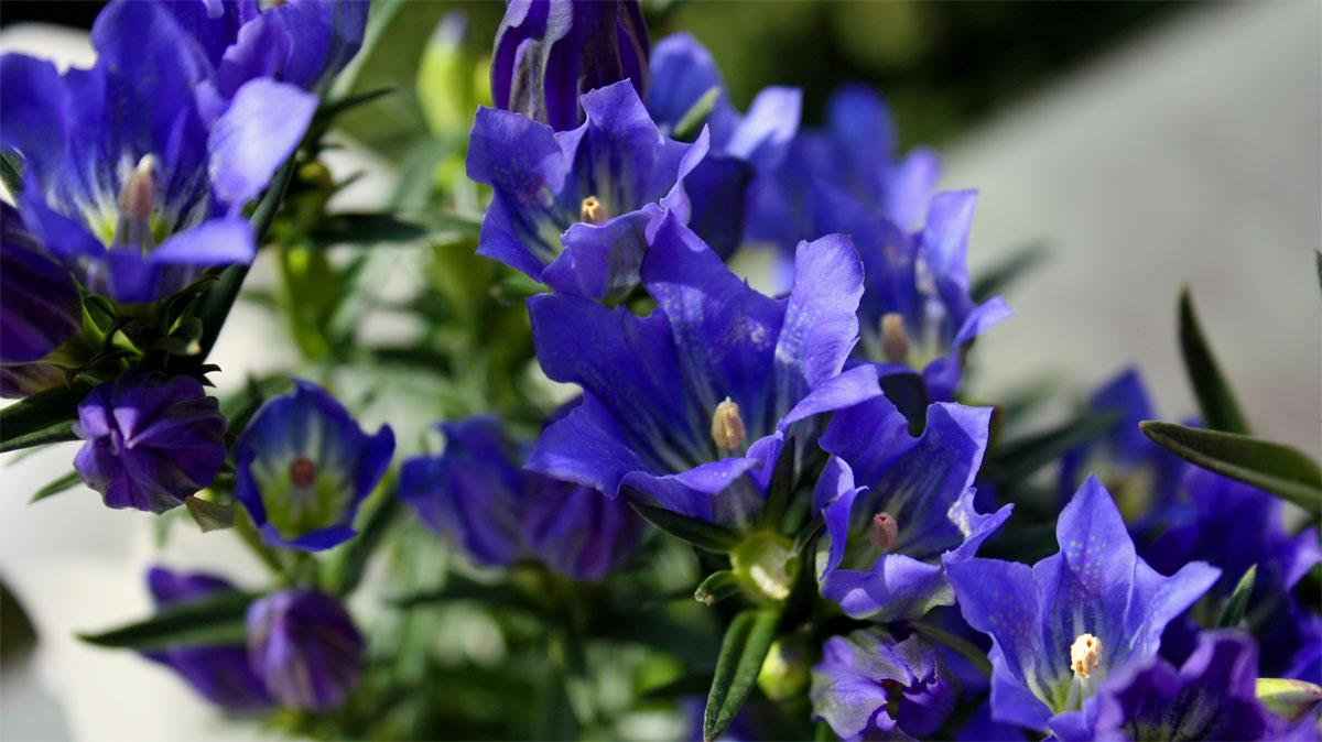 Zierpflanze Blauer Enzian