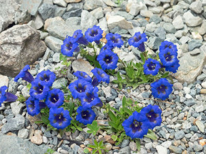 Blauer Enzian, Foto: pixabay