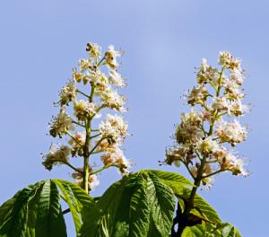 Kastanienblüte, Bild: Erich Westendarp, pixelio
