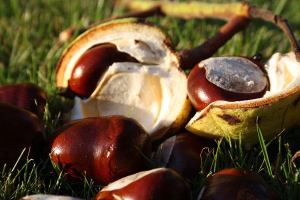 Früchte der Rosskastanie