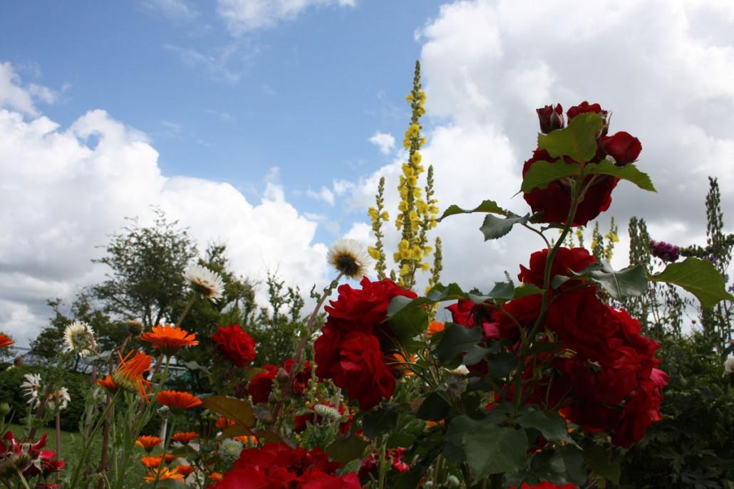 Rosen und Königskerze im Emil Nolde Garten