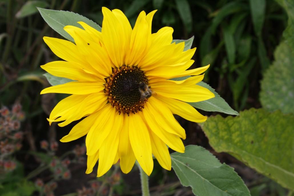 Sonnenblume im Emil Nolde Garten