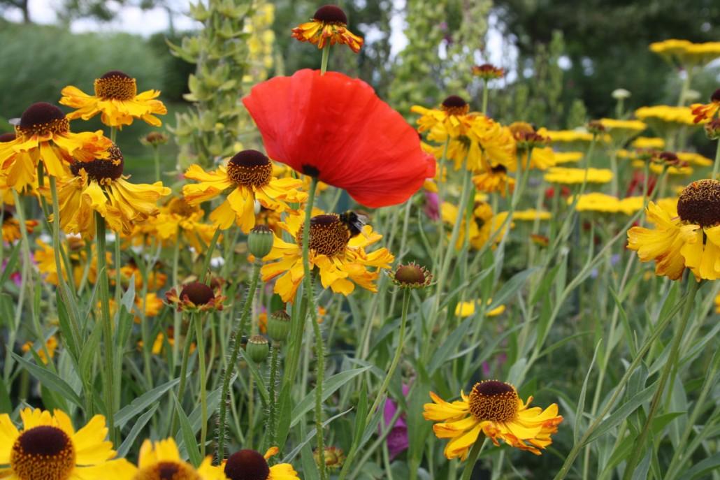 Sonnenhut und Klatschmohn im Emil Nolde Garten