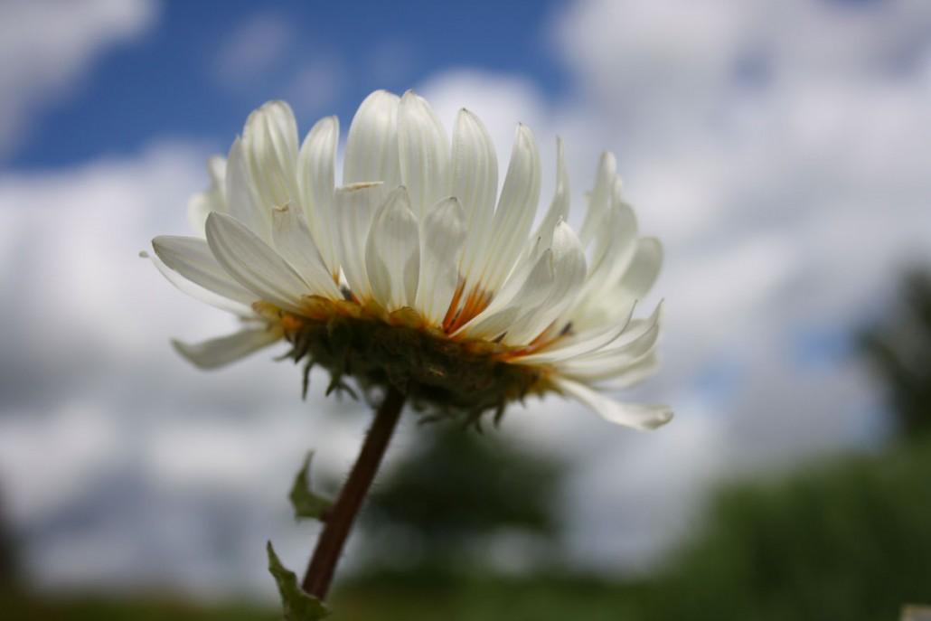 Venidie Blüte