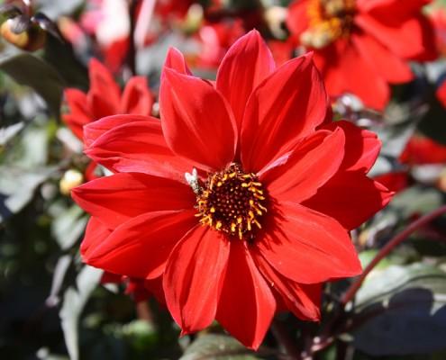 Aster rot, Botanischer Garten Hamburg - Loki-Schmidt-Garten