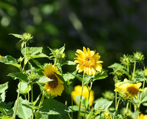 Blüten im Loki-Schmidt-Garten