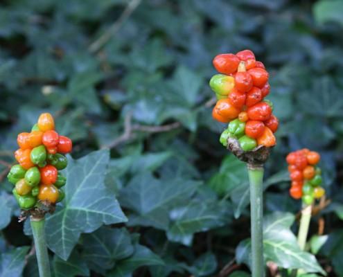 Frucht, Kiefer, Botanischer Garten