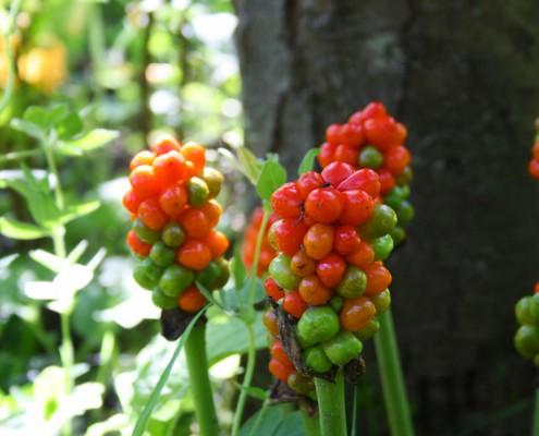 Früchte, Kiefer