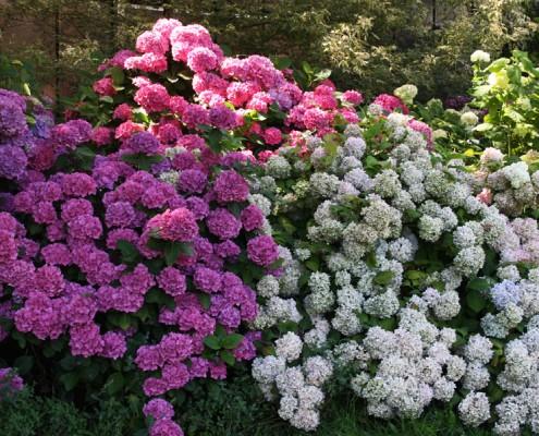 Hortensie, Blüte weiß, rosa, blau