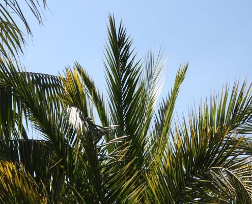Phoenixpalme, Palmengewächse im Botanischen Garten, Foto Birgit Puck