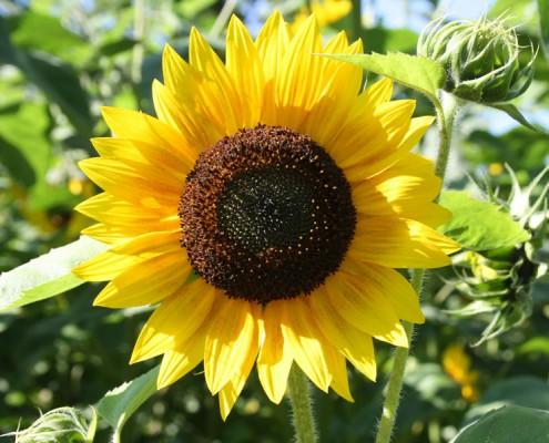 Sonnenblume, gelbe Blüte, Sonnenblumenkerne