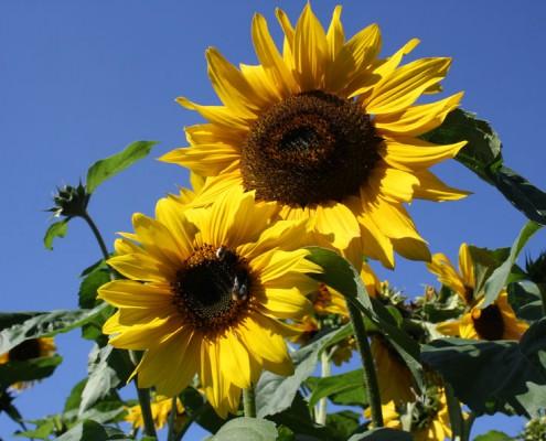 Sonnenblume, gelbe Blüte, Sonnenblumenfeld, Sonnenblumenkerne