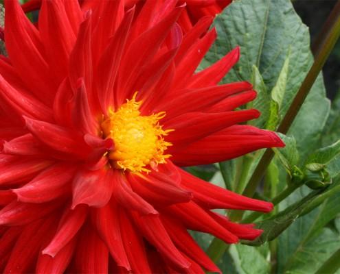 rote Semi-Kaktusdahlie