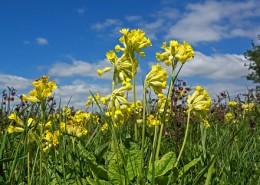 Wiesen-Schlüsselblume Blume des Jahres 2016
