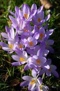 Iridaceae Krokus