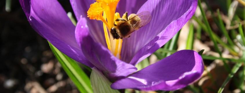 Schwertliliengewächs Safran Blumenversand Fleurop