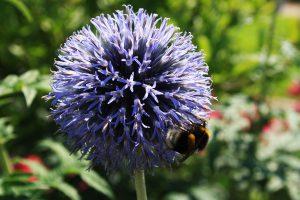 Kugeldiestel-Flockenblume