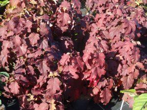 Eichenblättrige Hortensie, Hydrangea quercifolia Burgundy, Foto