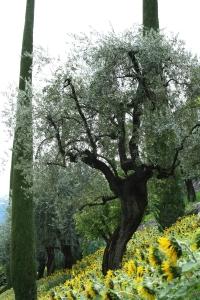 Olivenhain im Sonnenblumenfeld